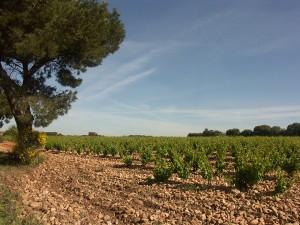 Vigne proche de la commune de Pignan
